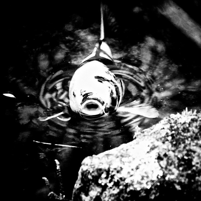 Pinhole Koi on Flickr.  © Ogawasan 小川/Bach.sacha.Photography.
