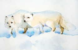 Arctic Foxes - Watercolour - A4 - 2011 My christmas card design for 2011 :)