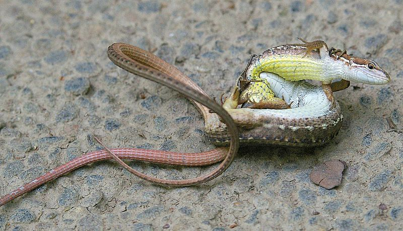 rhamphotheca:  Two Japanese Grass Lizards (Takydromus tachydromoides) fighting, Tsukuba, Japan family Lacertidae (photo: Materialscientist)