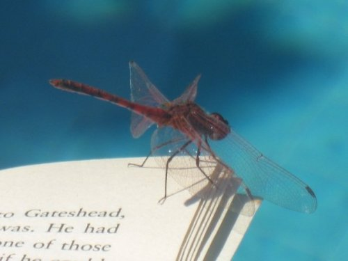 When a dragonfly landed on my book, Tel Aviv, Israel