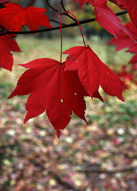 basicallymysoul:  Red Leaves by lucias_clay on Flickr.