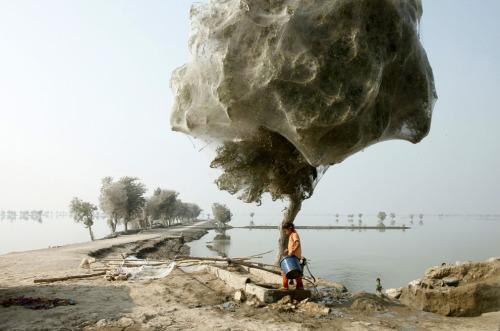 """An unexpected side-effect of the 2010 flooding in parts of Sindh, Pakistan, was that millions of spiders climbed up into the trees to escape the rising flood waters; because of the scale of the flooding and the fact that the water took so long to recede, many trees became cocooned in spiders webs. People in the area had never seen this phenomenon before, but they also reported that there were less mosquitoes than they would have expected, given the amount of standing water that was left. Not being bitten by mosquitoes was one small blessing for people that had lost everything in the floods."" Photo courtesy of Russell Watkins, U.K. Department for International Development [via My Modern Metropolis]"