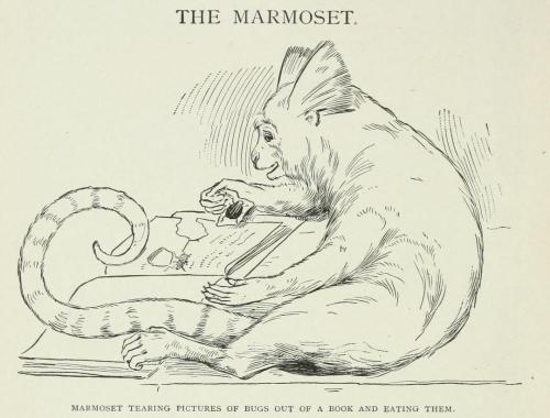 "biomedicalephemera:  The Marmoset ""Marmoset tearing pictures of bugs out of a book and eating them."" Marmosets have one of the most primitive brain structures of all the monkeys, and are native to South America. Some tribes of Amazonian natives both consume certain marmoset species for protein, while keeping the same species as pets (which are often as much a part of the family as any child). Big game hunting in Africa and other lands. Axel Lundeberg and Frederick Seamour, 1910."