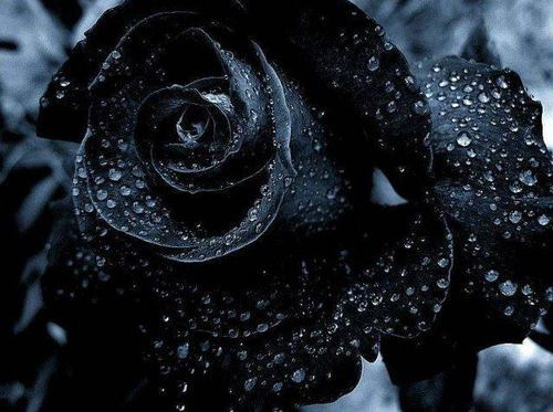The myth or reality of black roses has always fascinated me. I keep hearing that they are real, but then the reality is very dark red roses. One day I hope I'll see, in person, a true, black rose.