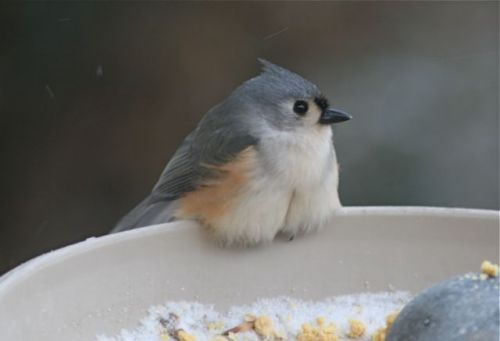 The poor, cold, fluffy titmouse.