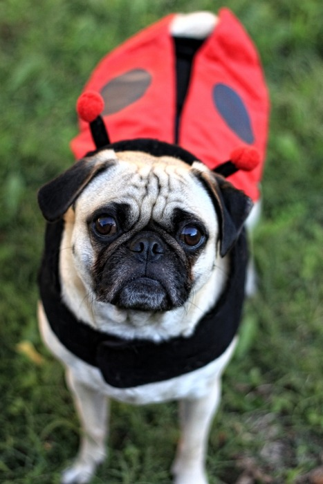 Lady Pug by ~garnettrules21