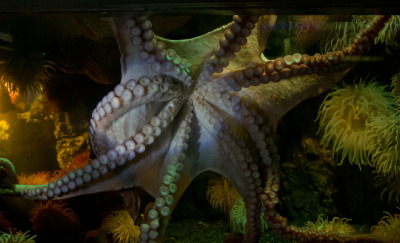 neaq:  Tune into a webchat about octopuses this evening featuring one of our very own!
