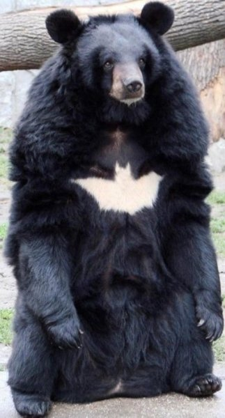 comicsalliance:    Bat-Bear is the Bear This Forest Deserves, Not the One It Needs I don't know where this came from originally, or whether it is natural, but I choose to believe that this bear with a Batman symbol on its chest has been gifted and cursed with a sacred mission of vengeance, to serve as the silent protector and Dark Knight of whatever zoo, forest, or arctic tundra he roams. And we'll hunt him, because he can take it. Because he's not a hero… He's a bear.  [via SardonicRocketeer]
