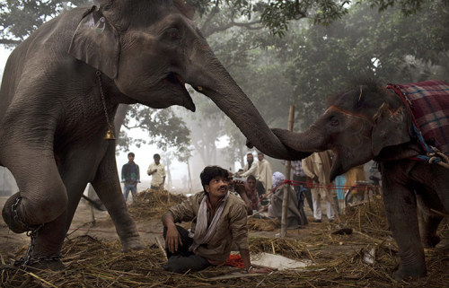 mabelmoments:  Sonepur, India: A mahout watches a mother elephant and her daughter interacting at the Sonepur Mela cattle fair. Photograph: Kevin Frayer/A