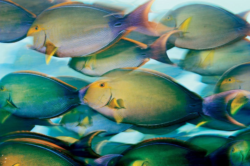 Yellow surgeon fish. Phoenix Islands, 2009. © Brian Skerry (via: Conservation International)