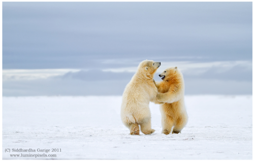 Arctic Dance - Polar bear cubs