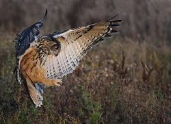 Eagle Owl (by: Philip F Higgins)