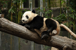 fuckyeahgiantpanda:  Yun Zi at the San Diego Zoo on November 11, 2011. Via E-a-r-t-h, © Ernest Pagarigan.