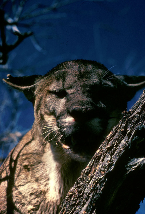 Florida Panther (via National Digital Library)