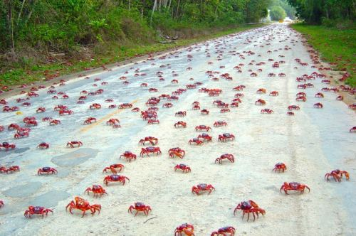 allcreatures:  Red crabs cover a road on Christmas Island, off the north coast of  Western Australia, as they start their annual migration from the forest  to the coast in order to breed, November 13, 2011. Picture: Sam Ellis