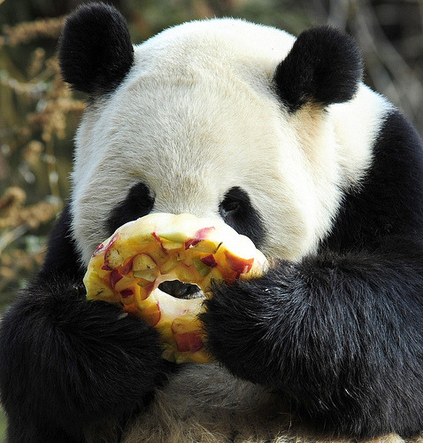 "theanimalblog:  ""Giant Panda Tian Tian enjoys a fruitcicle January 20, 2011 at the Smithsonian Institution's National Zoo in Washington, DC."""