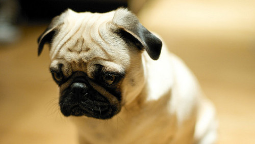 Family mourns after pug's death on transatlantic flightDelta Airlines is investigating the death, which the family says was caused by freezing temperatures. The incident is the latest in a string of pet deaths on airplanes.