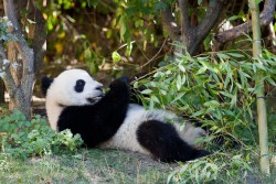 fuckyeahgiantpanda:  Fu Hu at the Vienna Zoo on October 5, 2011. © Thomas Krüger.