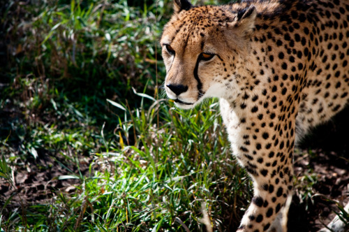 The world's fastest land animal the Cheetah can reach speeds of over 70 mph is losing its race for survival.Once a common animal found on five continents, the Cheetah is now an Endangered Species.The Cheetah needs large expanses of land to survive but with the loss of habitat, conflict with humans, as well as its own loss of genetic variation, are the threats facing the cheetah today.Although the cheetahs are the best hunters in Africa they are extremely clumsy fighters. The result is that they lose much of their prey to the more aggressive predators, such as lions and hyenas, who chase them away and steal their food. About 10,000-12,500 cheetahs are estimated to remain in 24 to 26 African countries and less than 100 animals in Iran. Namibia has the world's largest number of free-ranging cheetahs with about 3,000 animals.