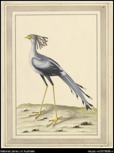 scientificillustration:  Secretary bird (Sagittarius serpentarius) by George Raper, 1769-1796.  Things I have thought WAY too long about: how to create an objective set of raw data to determine which animals are the most BAMF. Things at which I have not yet succeeded: see previous sentence. Animals that Just Don't Give A Fuck™: Honey Badger Secretary Bird Wolverine Cassowary Bottle-nose Dolphin Barn owls Octopuses Mongoose Komodo Dragon Cane toad* Ranking based on Swag, Badassery, Illusory Cuteness and Disregard of Surroundings. *Debatable. Is it so ugly it's cute, or so ugly it's just fugly?