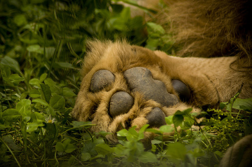 animals-animals-animals:  Lion Paw (by Catalin Budusan)