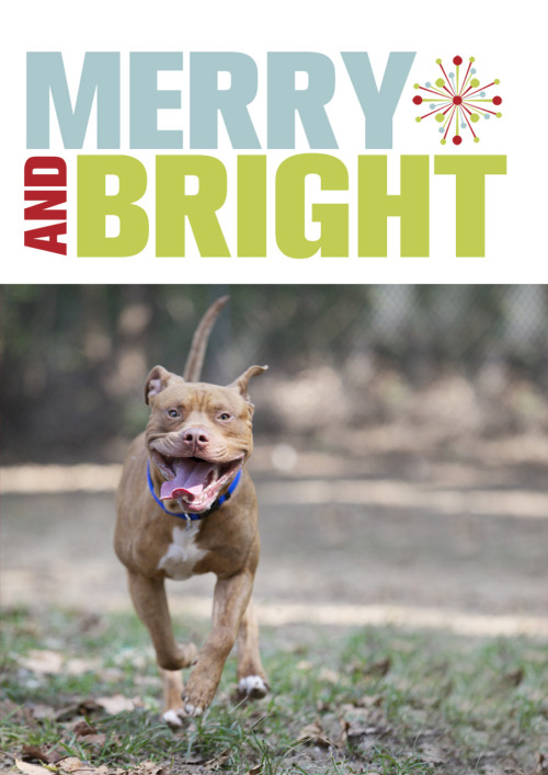 Get your Pit Bull Holiday Cards right here! Spread good tidings and positive pit bull images to friends and family this year!
