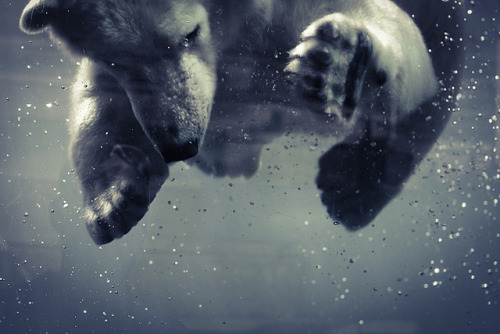 look-alive-:  untitled by demilliac on Flickr.   Polar bears are my favorite animal EVER!!