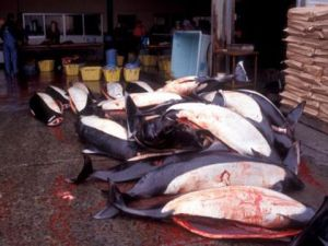 The Japanese tsunami appears to have temporarily halted the annual Dall's porpoise hunt. Pity the Taiji dolphins haven't been spared too, says the Environmental Investigation Agency's Clare Perry  SAYS ANYONE WITH A HEART AND AN OUNCE OF COMPASSION AND DECENCY!   The start of November marked the official opening of Japan's annual hunt of the Dall's porpoise, the largest direct hunt of any whale, dolphin and porpoise in the world. If this were a normal year, the seas off the port of Otsuchi, in the prefecture of Iwate in north-eastern Japan, would be stained red for the six-month duration of the hand harpoon hunt.  In the past, the Dall's hunt has resulted in the annual butchery of up to 15,000 porpoises, although that figure has been slowly declining and in 2009, the last year for which numbers are available, it was about half that. International Whaling Commission (IWC) scientists have previously described the Dall's hunt as 'clearly unsustainable'.  Information from our contacts in the region, and my own instincts, suggest it could take several years for the area to be rebuilt and so allow the hunt to begin again.  There's no question that the tsunami was a human and environmental tragedy, but it's a particular shame that it took such an horrendous blow to halt the Dall's hunt. If anything positive could have come from the destruction, it was that Japan had been given the perfect opportunity to walk away from this wholesale butchery of cetaceans, and the near-universal international condemnation of its whaling activities, without losing face.  Please read in full by clicking photo thanks