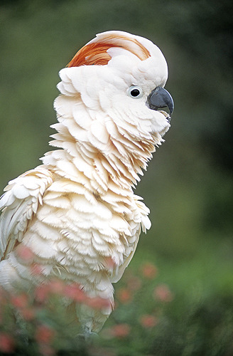 fairy-wren:  moluccan cockatoo