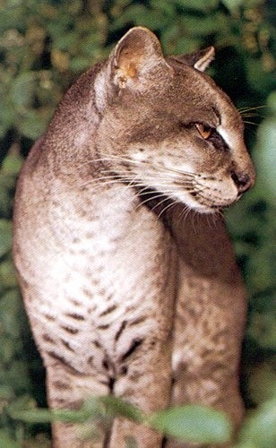 rhamphotheca:  African Golden Cat (Profelis aurata = Caracal aurata) The African golden cat is a medium sized central African species. African golden cats are found across the African Equatorial belt.  The prefer the rain forest regions… here has been very little research done in the wild with African golden  cats.  It is known to be mainly nocturnal, resting in trees during the  day while doing some hunting during the diurnal period. There isn't much information on the breeding cycle of African golden  cats.  Their gestation is known to be 73 days with a litter size of 1-2. The African golden cat's status in the wild is not entirely known due  to insufficient study.  They appear to be doing well in the Congo  region where large expanses of pristine rain forest exist. The biggest problem facing the African golden cat in the wild, as  with most feline species, is deforestation and the loss of habitat.   There is little hunting pressure because the African golden cat is taboo  to many local tribes, though there are a few that use the fur in  ceremonial dress… (read more: Feline Conservation Society)