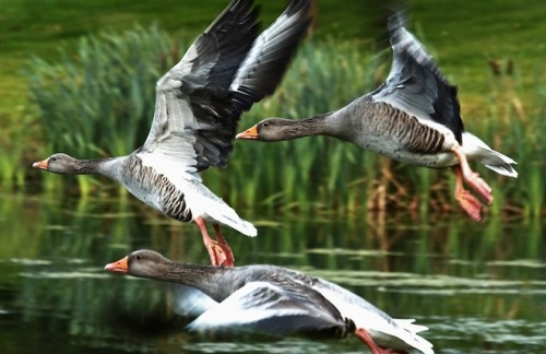 "scinerds:  Monogamy Helps Geese Reduce Stress  With monogamy so uncommon in the animal world, the idea of lifetime fidelity can seem a little strange, at least to evolutionary biologists.  But in greylag geese, which can live for 20 years and share them with just one mate, biologists have found a benefit: stress reduction. During fights, males with mates have lower heart rates than their single brethren. If their partners are nearby, they're even more relaxed.  ""It seems to be one advantage of monogamy: If you have a long-term relationship, that helps you cope with stress. It's a good thing to do compared to systems where you always have to find a new partner and have no support in such situations,"" said Claudia Wascher, an ethologist at Austria's Konrad Lorenz Research Station."