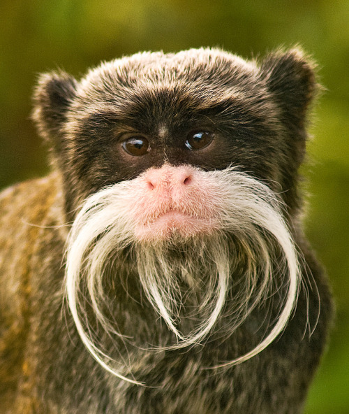 Emperor Tamarin by anguskirk  From llbwwb, follow llbwwb for more posts like this.
