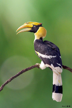 Great Hornbill #4 by kengoh8888 on Flickr.