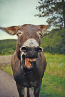 Laughing Donkey by jaxxon on Flickr.