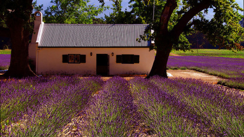 Farm house on lavender fields outside of Franschoek, South Africa. Casa entre campos de lavanda, Franschoek, África do Sul. Photo copyright: slack12