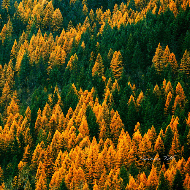 Happy Tamarack Tuesday (Explored) by misst.shs on Flickr.