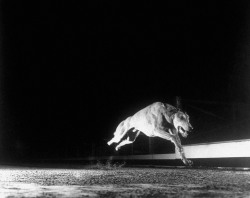 melisaki:  greyhound photo by Gjon Mili, Wonderland Park, 1948