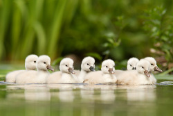 nioniel:  98issues:  Not so ugly Ducklings (By Roeselien Raimond)  SWAN BABIES :B  Cygnets.  :3