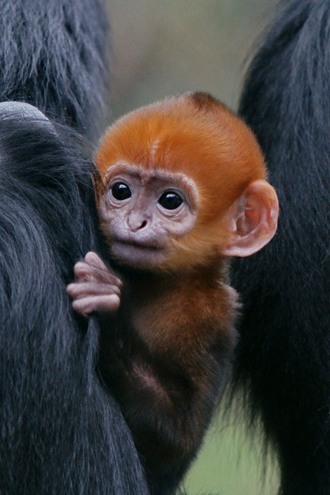 asfgiantsfan:  Francois Langur babies are are orange during their first year of life. FACT! Towards the end of that first year they slowly lose their orange hairs and turn black. The orange lets the family know that they are just babies so they should go easy on them.
