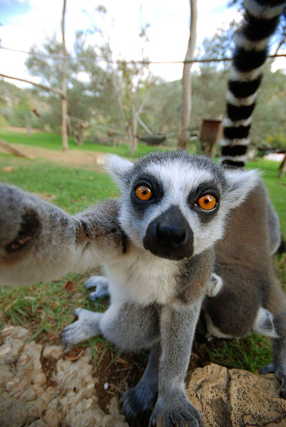 allcreatures:  A lemur grabs a tourist's camera at Jerusalem Biblical Zoo. Felix Tchvertkin says he was surprised when he learned that the zoo let visitors walk right into the lemurs' enclosure. But soon realised the little critters loved the attention and one even tried to pinch his camera. Picture: FELIX TCHVERTKIN / CATERS NEWS (via Animal pictures of the week: 18 November 2011 - Telegraph)