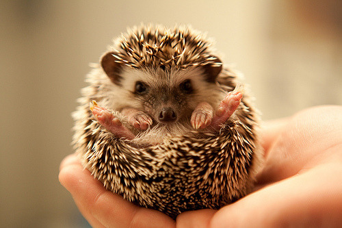 hedgieshedgieshedgies:  EDGEHOG (by sucksuckblow)