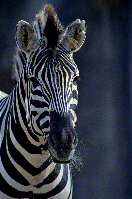 Zebra on Flickr.