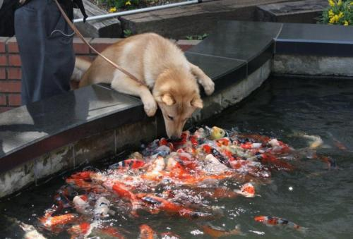 dduane:   Dog: Hello koi! Koi: HELLO DOG! HELLO DOG! HELLO DOG! HELLO DOG! HELLO DOG! HELLO DOG! HELLO DOG! HELLO DOG! HELLO DOG! HELLO DOG! HELLO DOG! HELLO DOG! HELLO DOG! HELLO DOG! HELLO DOG! HELLO DOG! HELLO DOG! HELLO DOG! HELLO DOG! HELLO DOG! HELLO DOG! HELLO DOG! HELLO DOG! HELLO DOG! HELLO DOG! HELLO DOG! HELLO DOG! HELLO DOG! HELLO DOG! HELLO DOG! HELLO DOG! HELLO DOG! HELLO DOG! HELLO DOG! HELLO DOG! HELLO DOG! HELLO DOG! HELLO DOG! HELLO DOG!  I always reblog this. I can't help it.