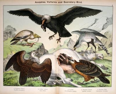 Accipitres competing over carrion. Of course none of these birds would be found in the same part of the world, but this is an excellent comparison between the Old World vultures and the New World vultures. The Egyptian vulture and Griffon vultures are considered Old World vultures, as is the Lammergeier. However, the Lammergeier is not closely related to the other Old World vultures, aside from the Egyptian vulture.  New World vultures are not closely related to Old World vultures, but are superficially similar (they look alike). New World vultures (such as the California condor and turkey vulture) have an excellent sense of smell, and are often the first scavenger at the scene of the death. These are the ones that are popularly depicted as circling overhead when someone or something is dying. Old World vultures have a poor sense of smell, but good eyesight, and tend to follow other birds to carcasses, then fight them away from it. Natural History of the Animal Kingdom for the Use of Young People. W. F. Kirby, 1889.