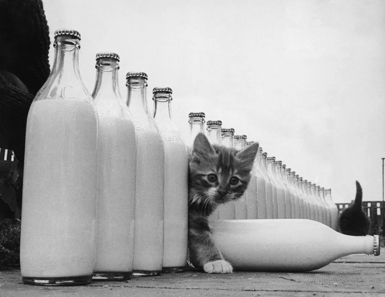 A kitten is surrounded by milk bottles bigger than he is.