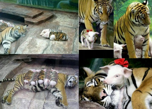 Tiger adopts piglettes, more like bacon!