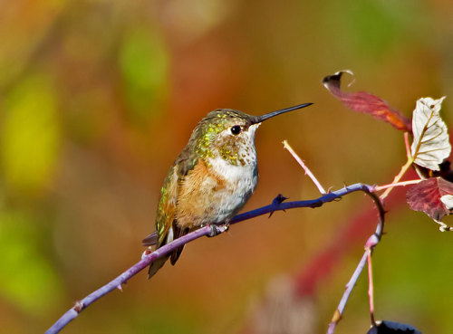 Rufous on my wineberry bush