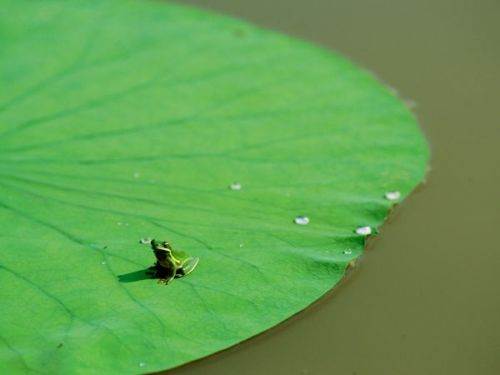 colorsoftheplanet:  Frog on Lily Pad Photograph by James P. Blair A  green frog sits atop a large lily pad in the waters of Atchafalaya  Delta. Although this croaker is a bayou-dweller, its species thrives as  far north as Canada.