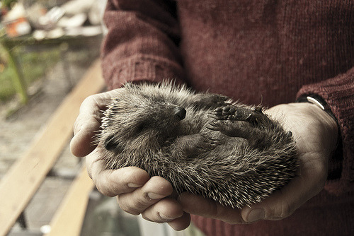 hedgehog (by Anneke!!)