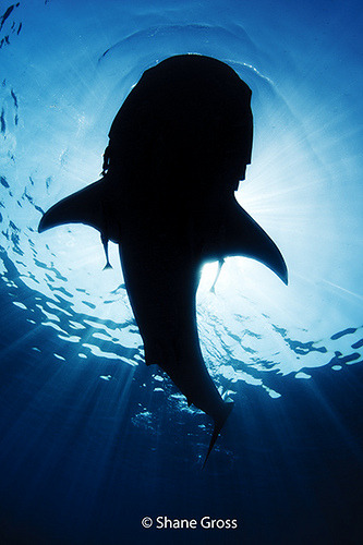(Photo by Shane Gross) whale shark (see this previous post)
